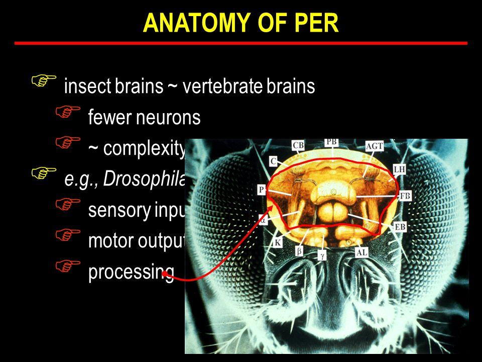 F insect brains ~ vertebrate brains F fewer neurons F ~ complexity F e.g., Drosophila F sensory input F motor output F processing ANATOMY OF PER