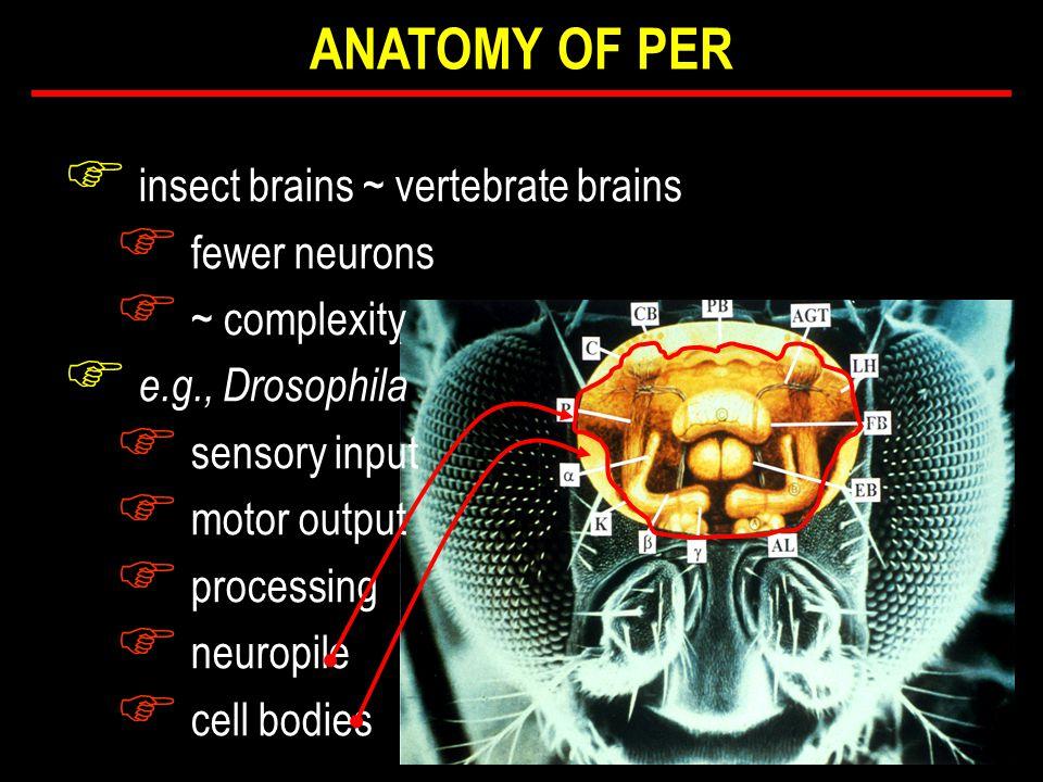 F insect brains ~ vertebrate brains F fewer neurons F ~ complexity F e.g., Drosophila F sensory input F motor output F processing F neuropile F cell bodies ANATOMY OF PER