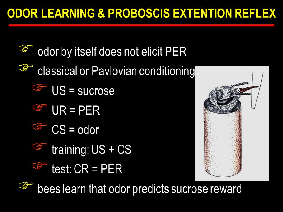F in color experiment F classical or Pavlovian conditioning F US = sucrose F UR = feeding F CS = color F training: US + CS F test: CR =  preference F bees learn that color predicts sucrose reward ODOR LEARNING & PROBOSCIS EXTENTION REFLEX