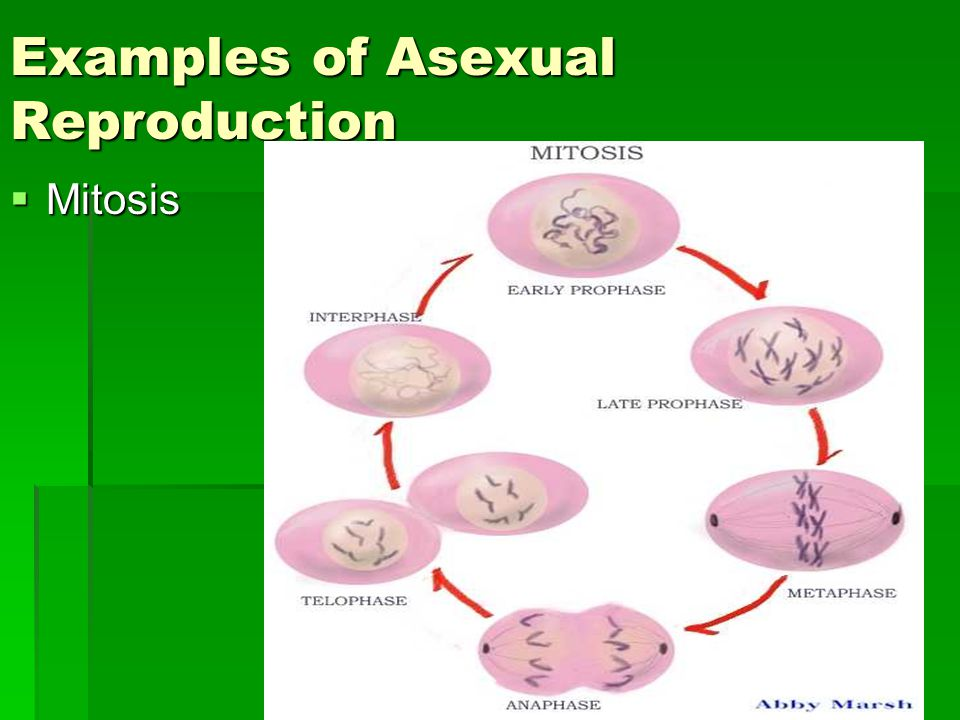 Examples of Asexual Reproduction  Mitosis
