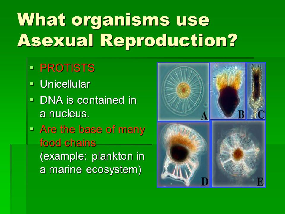 What organisms use Asexual Reproduction. PROTISTS  Unicellular  DNA is contained in a nucleus.
