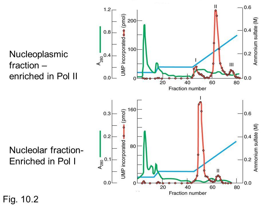 Nucleolar fraction- Enriched in Pol I Nucleoplasmic fraction – enriched in Pol II Fig. 10.2