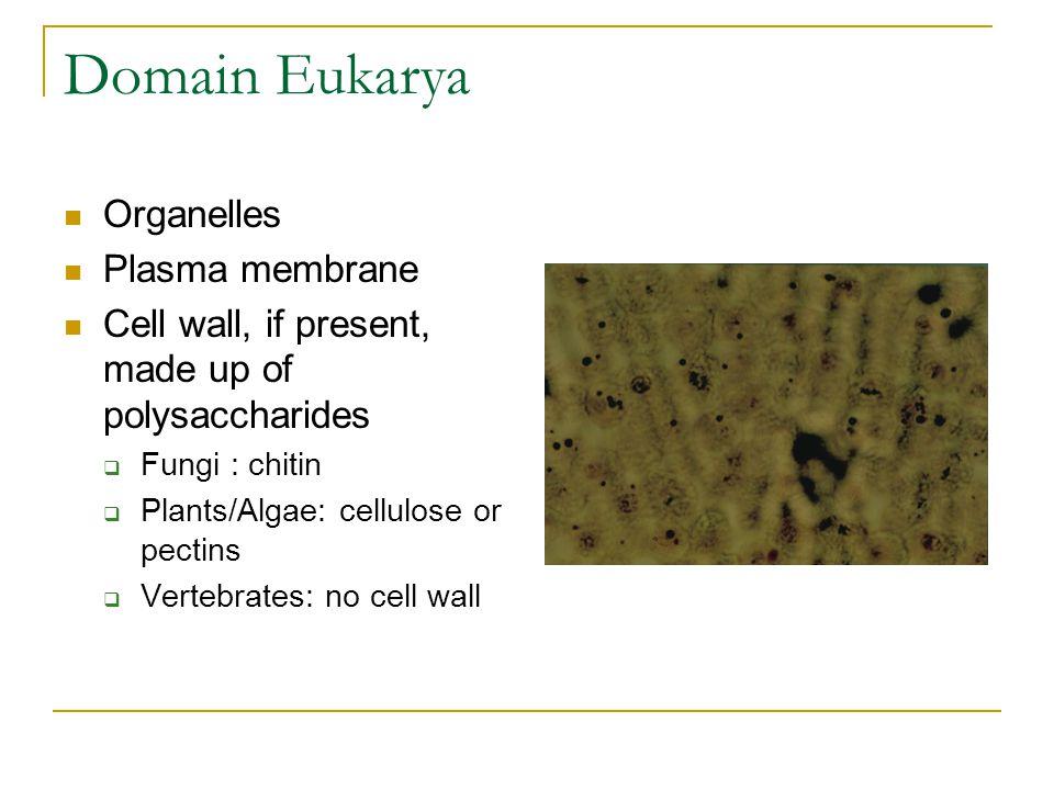 Domain Eukarya Organelles Plasma membrane Cell wall, if present, made up of polysaccharides  Fungi : chitin  Plants/Algae: cellulose or pectins  Ve