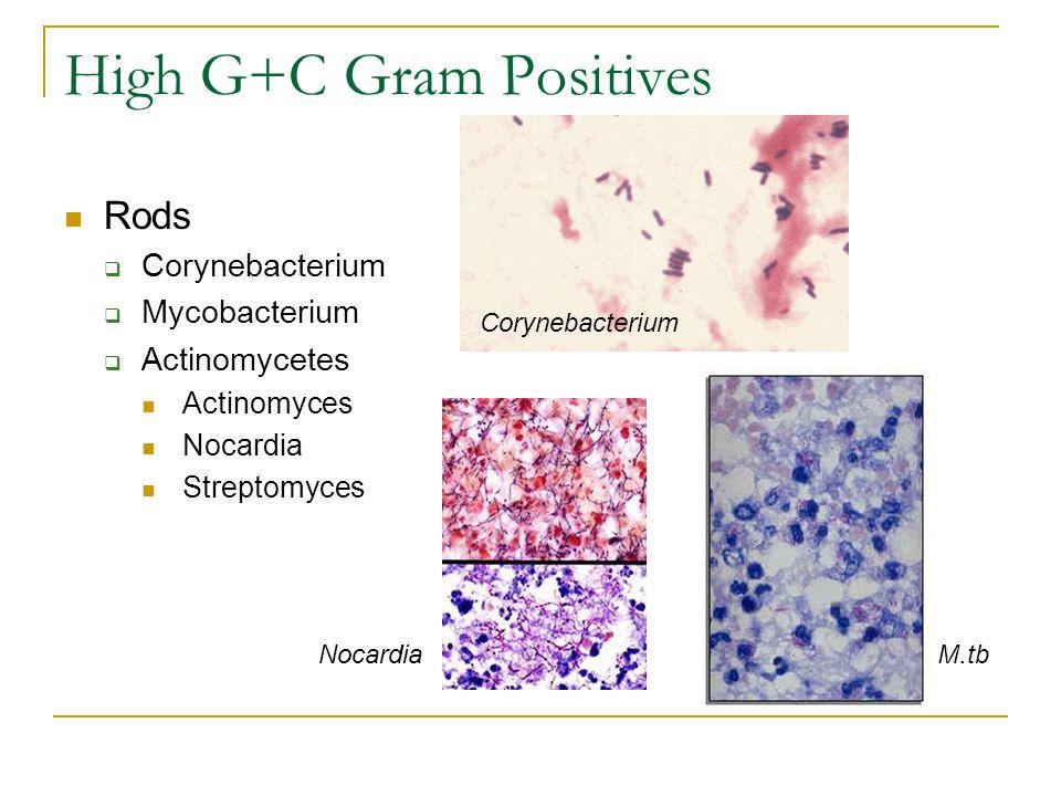 High G+C Gram Positives Rods  Corynebacterium  Mycobacterium  Actinomycetes Actinomyces Nocardia Streptomyces Corynebacterium NocardiaM.tb