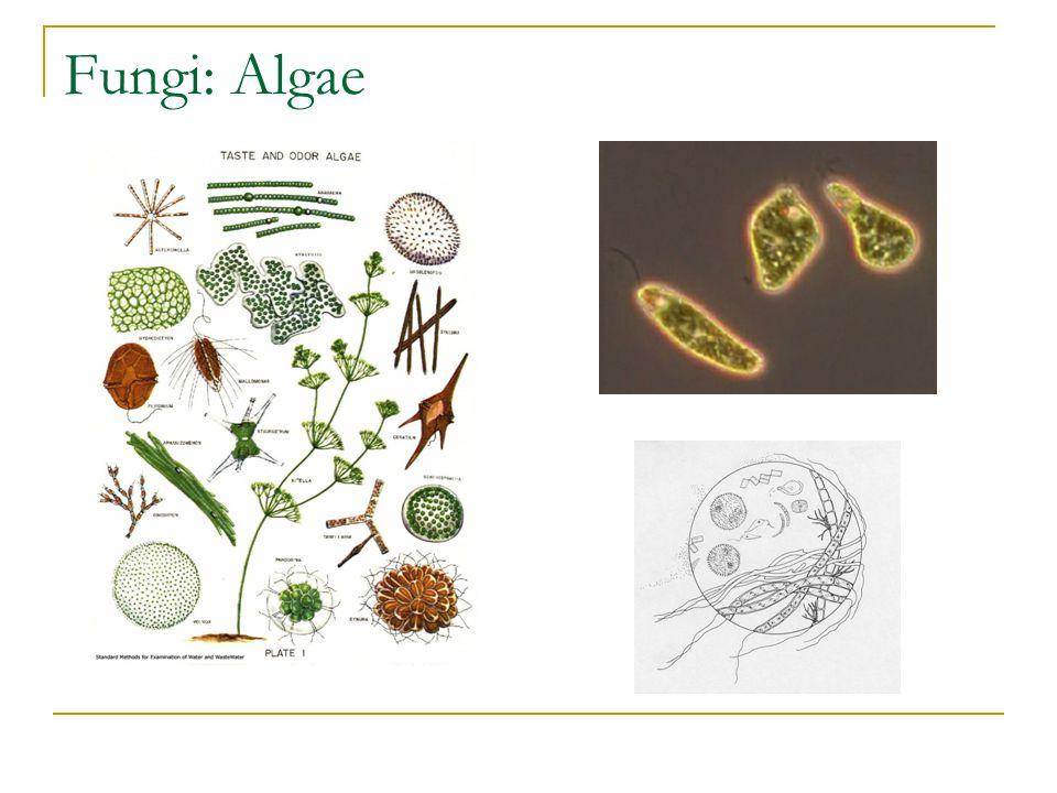 Fungi: Algae