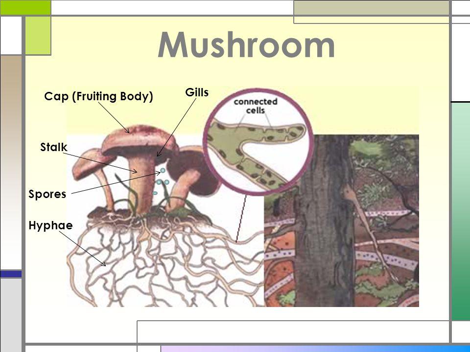Mushroom Cap (Fruiting Body) Gills Stalk Hyphae Spores