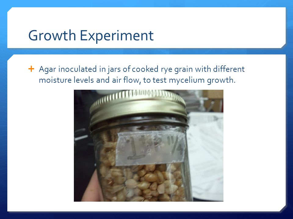 Growth Experiment  Agar inoculated in jars of cooked rye grain with different moisture levels and air flow, to test mycelium growth.