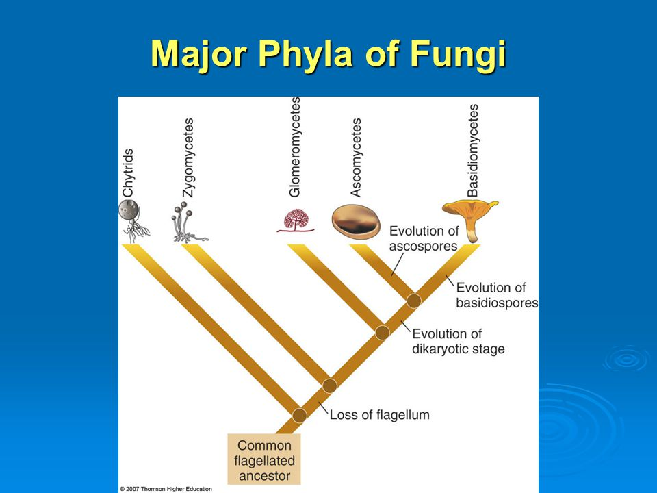 Major Phyla of Fungi