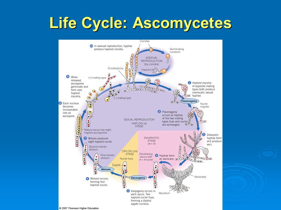 Life Cycle: Ascomycetes