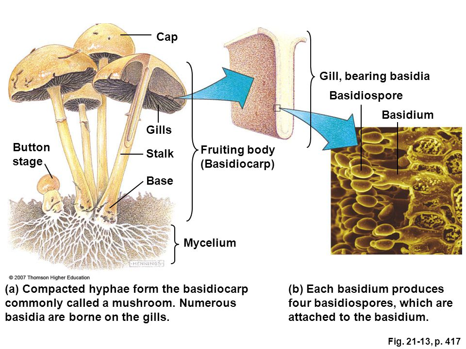 (a) Compacted hyphae form the basidiocarp commonly called a mushroom. Numerous basidia are borne on the gills. Mycelium Base Stalk Button stage Gills