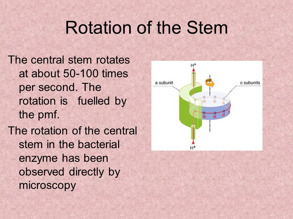 Rotation of the Stem The central stem rotates at about 50-100 times per second.