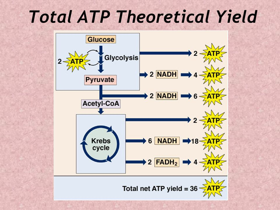Total ATP Theoretical Yield