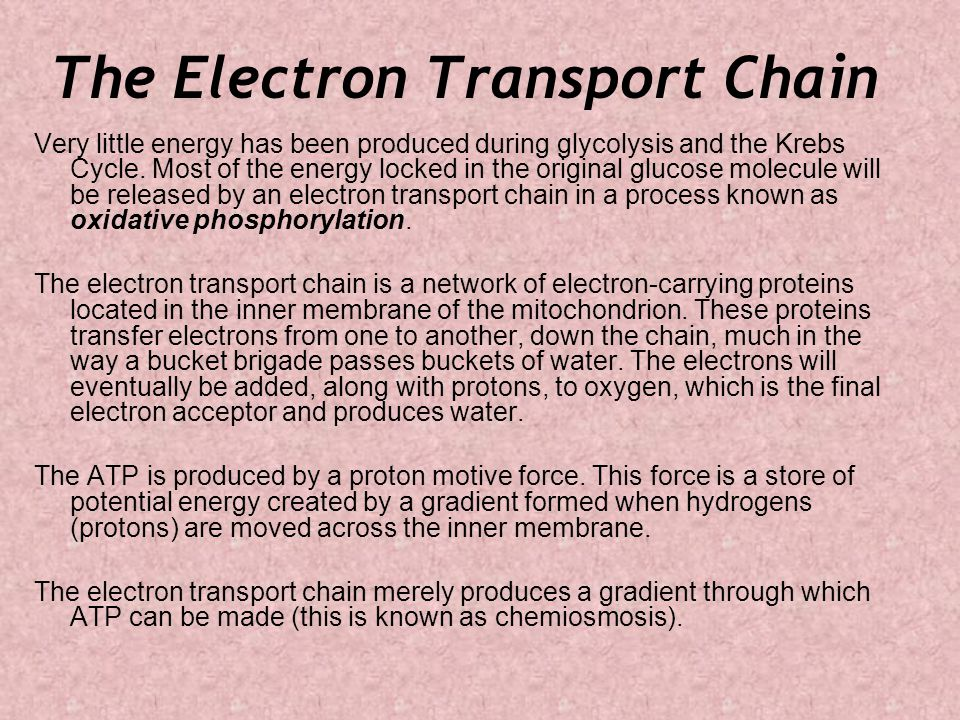 The Electron Transport Chain Very little energy has been produced during glycolysis and the Krebs Cycle.