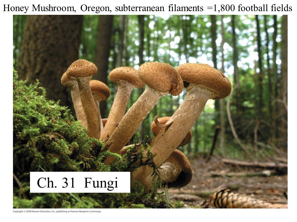 Fig. 31-1 Honey Mushroom, Oregon, subterranean filaments =1,800 football fields Ch. 31 Fungi