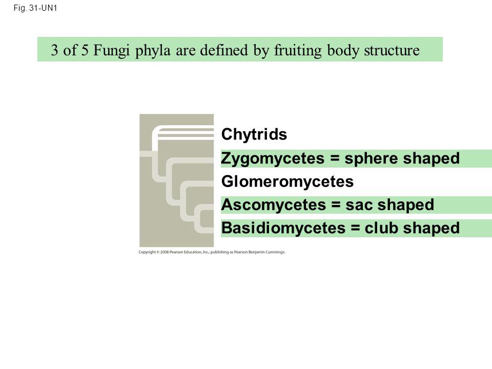 Fig. 31-UN1 Chytrids Basidiomycetes = club shaped Zygomycetes = sphere shaped Glomeromycetes Ascomycetes = sac shaped 3 of 5 Fungi phyla are defined b