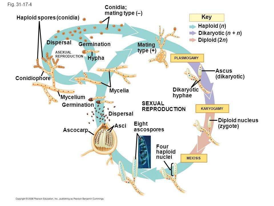 Fig. 31-17-4 Key Haploid (n) Diploid (2n) Dikaryotic (n + n) Conidiophore Mycelium ASEXUAL REPRODUCTION Germination Hypha PLASMOGAMY Haploid spores (c