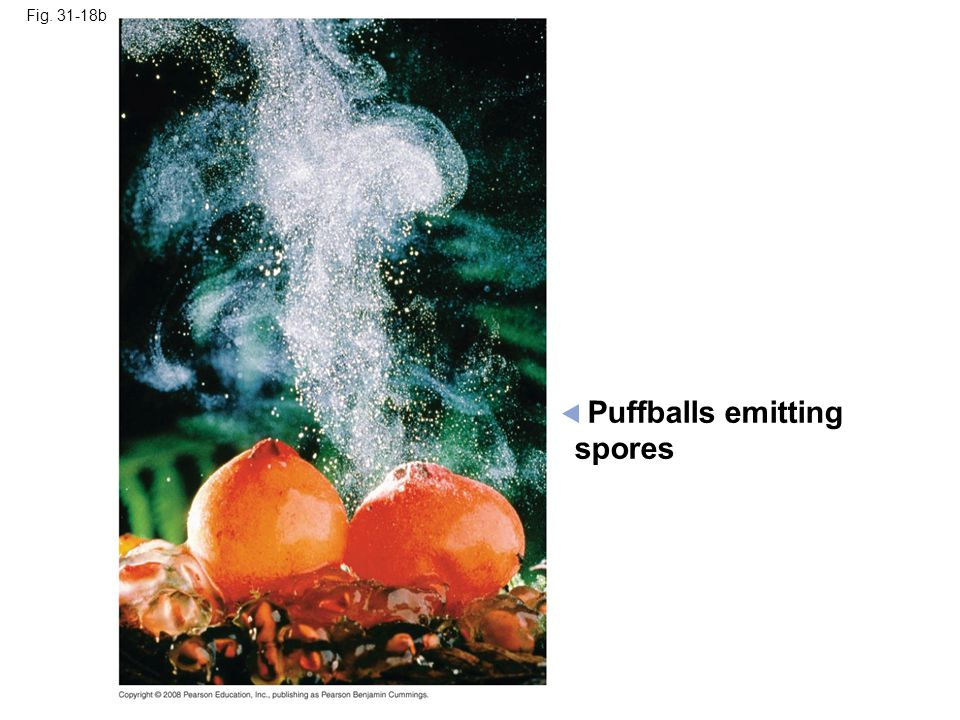 Fig. 31-18b Puffballs emitting spores