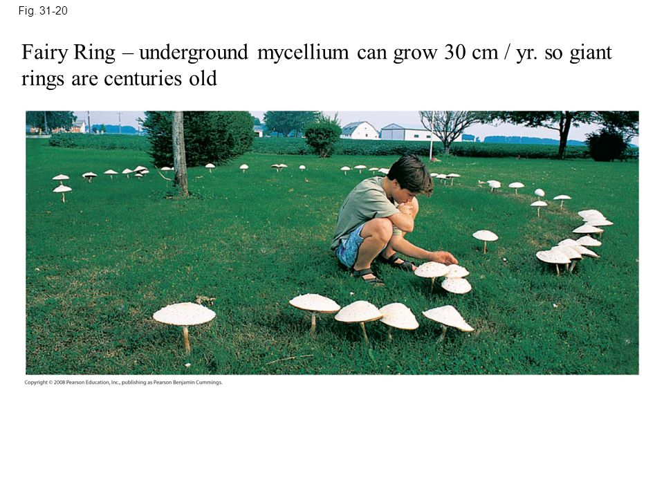 Fig. 31-20 Fairy Ring – underground mycellium can grow 30 cm / yr. so giant rings are centuries old