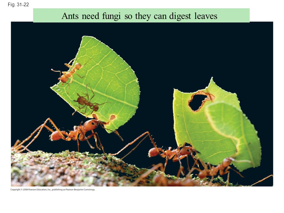 Fig. 31-22 Ants need fungi so they can digest leaves