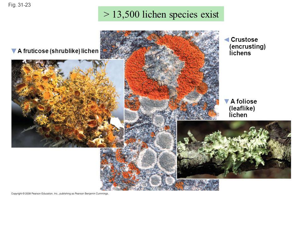 Fig. 31-23 A foliose (leaflike) lichen A fruticose (shrublike) lichen Crustose (encrusting) lichens > 13,500 lichen species exist