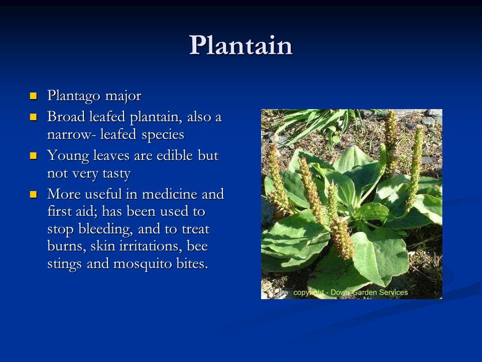 Plantain Plantago major Plantago major Broad leafed plantain, also a narrow- leafed species Broad leafed plantain, also a narrow- leafed species Young