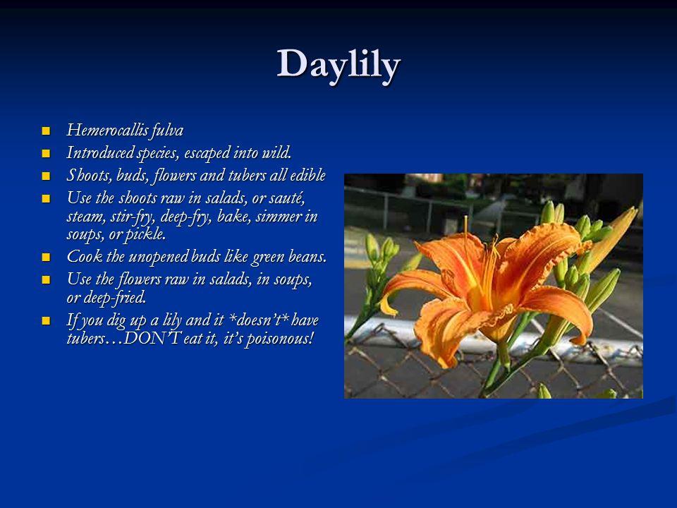 Daylily Hemerocallis fulva Hemerocallis fulva Introduced species, escaped into wild. Introduced species, escaped into wild. Shoots, buds, flowers and
