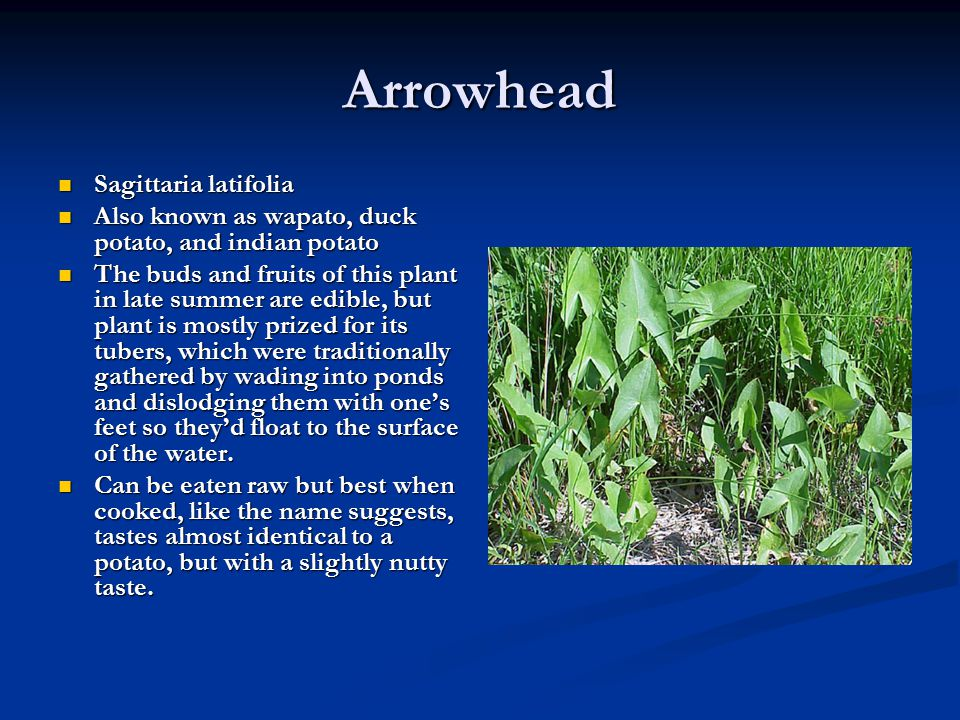 Arrowhead Sagittaria latifolia Sagittaria latifolia Also known as wapato, duck potato, and indian potato Also known as wapato, duck potato, and indian
