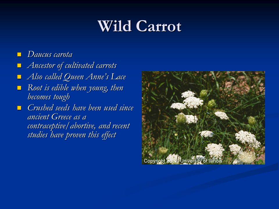 Wild Carrot Daucus carota Daucus carota Ancestor of cultivated carrots Ancestor of cultivated carrots Also called Queen Anne's Lace Also called Queen