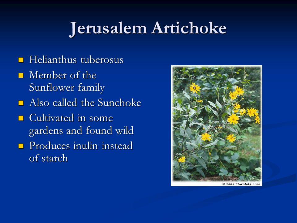 Jerusalem Artichoke Helianthus tuberosus Helianthus tuberosus Member of the Sunflower family Member of the Sunflower family Also called the Sunchoke A