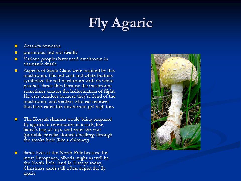 Fly Agaric Amanita muscaria Amanita muscaria poisonous, but not deadly poisonous, but not deadly Various peoples have used mushroom in shamanic ritual