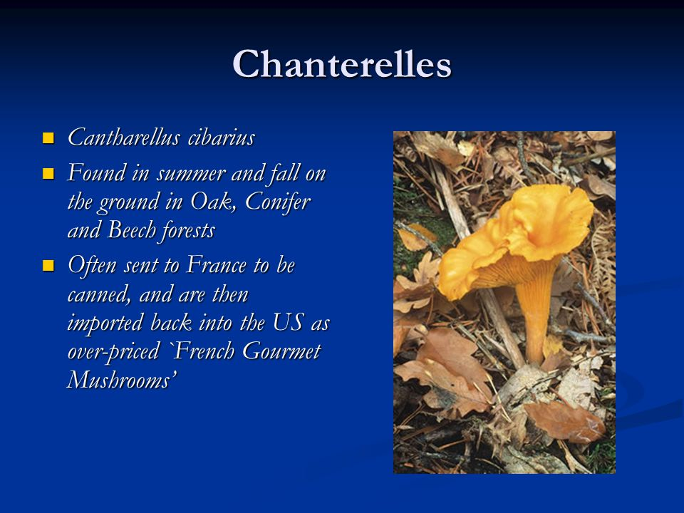Chanterelles Cantharellus cibarius Cantharellus cibarius Found in summer and fall on the ground in Oak, Conifer and Beech forests Found in summer and