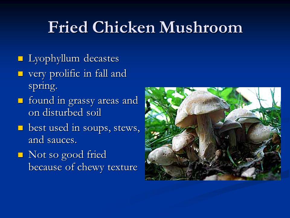 Fried Chicken Mushroom Lyophyllum decastes Lyophyllum decastes very prolific in fall and spring. very prolific in fall and spring. found in grassy are