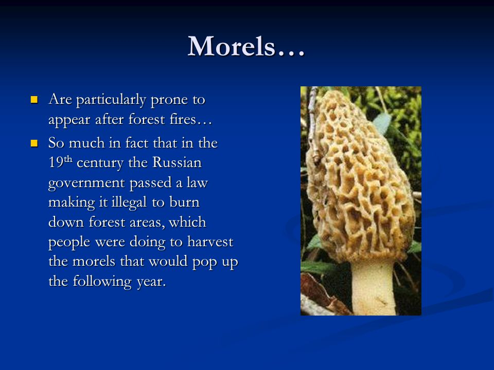 Morels… Are particularly prone to appear after forest fires… Are particularly prone to appear after forest fires… So much in fact that in the 19 th ce