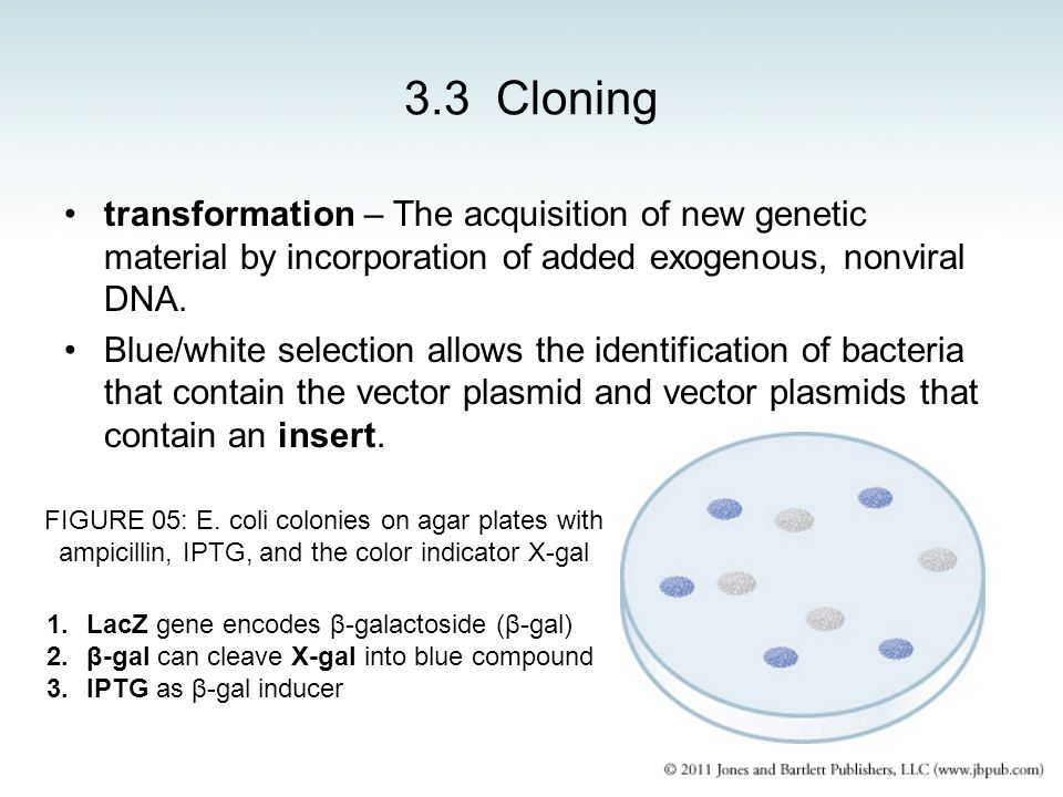3.3 Cloning transformation – The acquisition of new genetic material by incorporation of added exogenous, nonviral DNA. Blue/white selection allows th