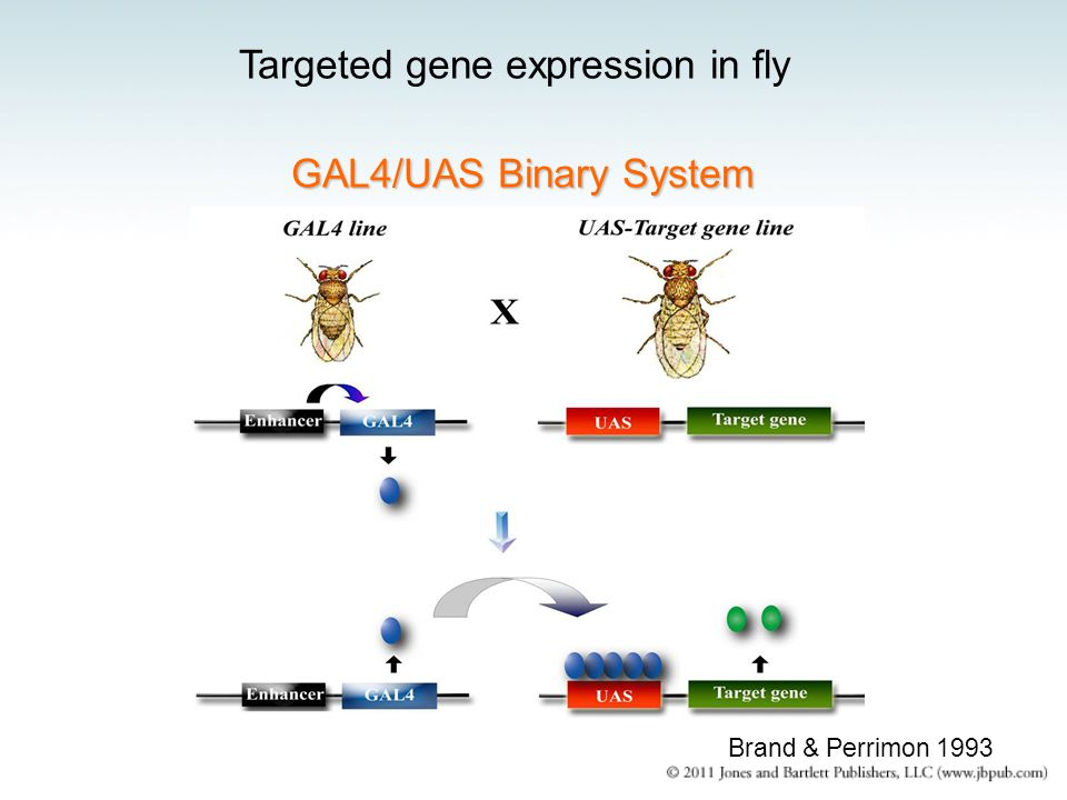 GAL4/UAS Binary System Targeted gene expression in fly Brand & Perrimon 1993