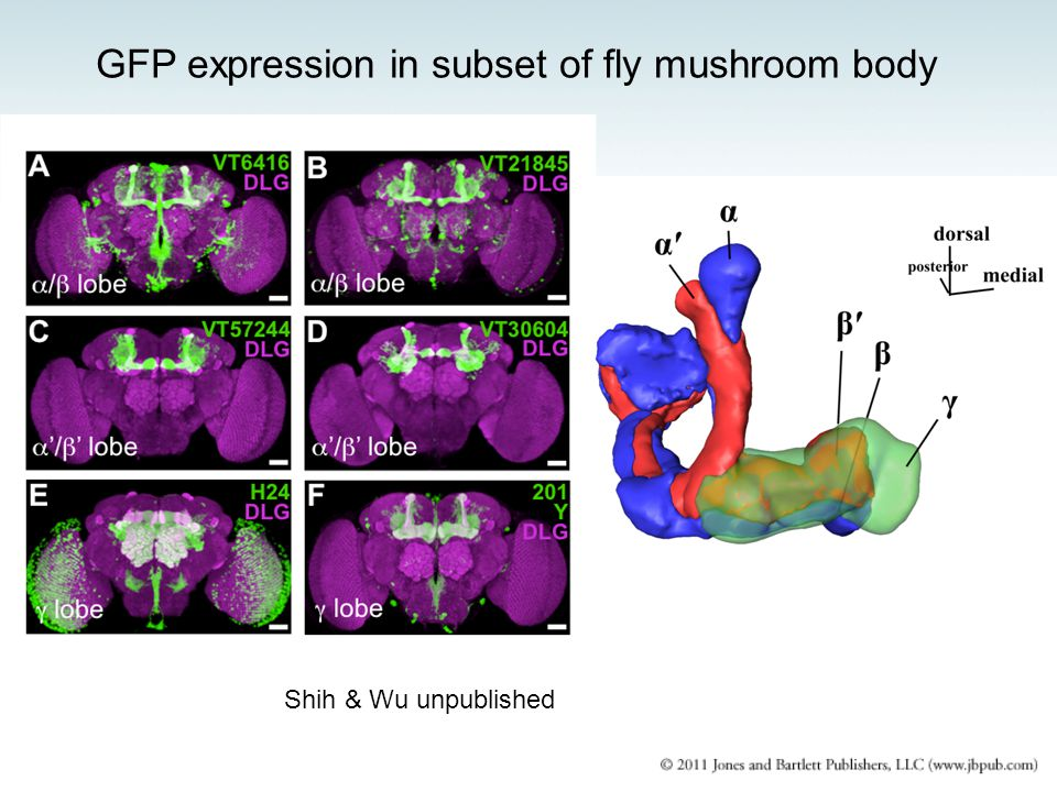 Shih & Wu unpublished GFP expression in subset of fly mushroom body