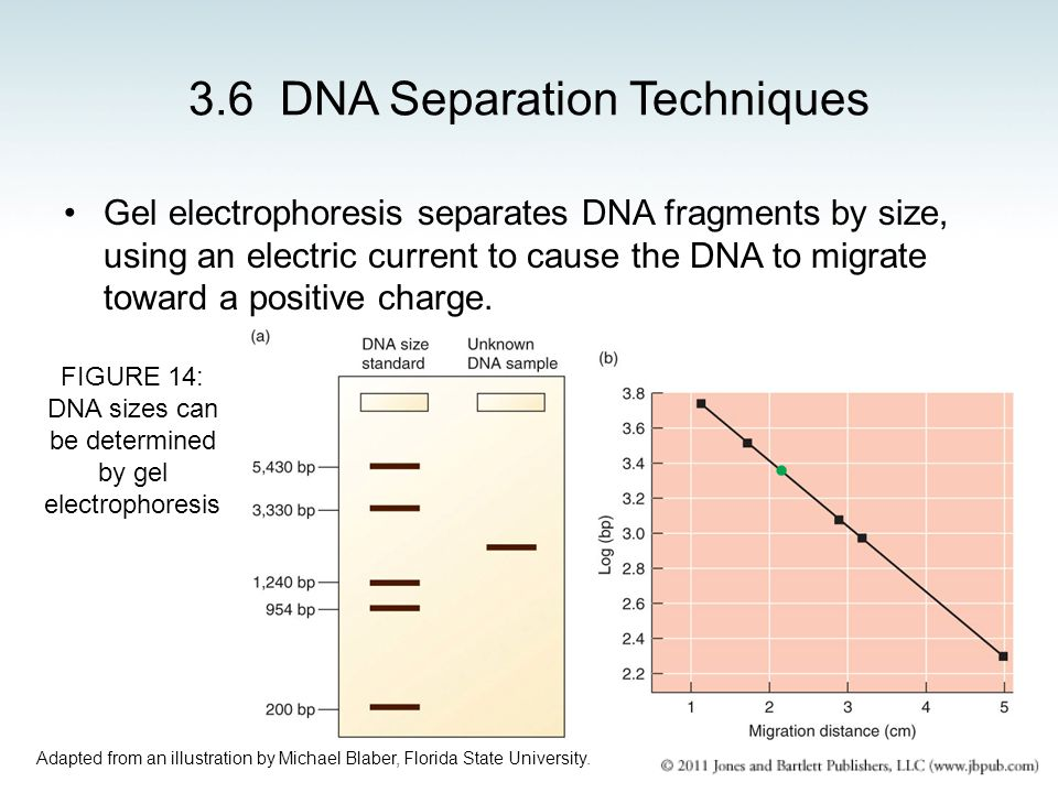 3.6 DNA Separation Techniques Gel electrophoresis separates DNA fragments by size, using an electric current to cause the DNA to migrate toward a posi