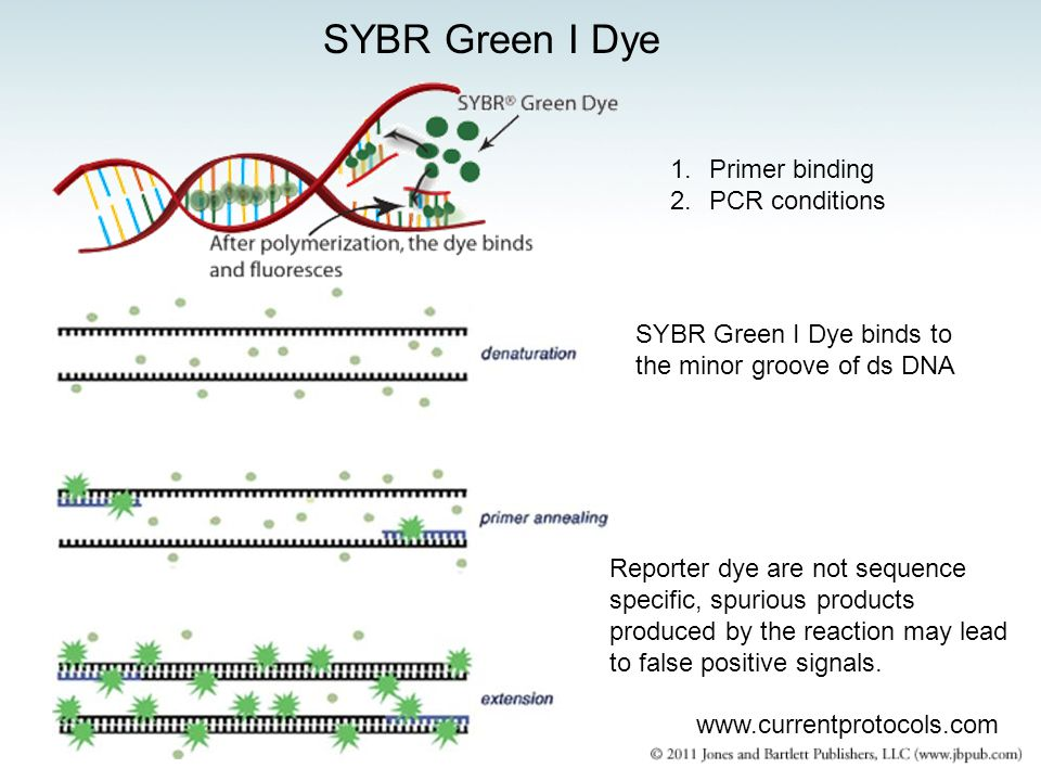 SYBR Green I Dye www.currentprotocols.com 1.Primer binding 2.PCR conditions SYBR Green I Dye binds to the minor groove of ds DNA Reporter dye are not