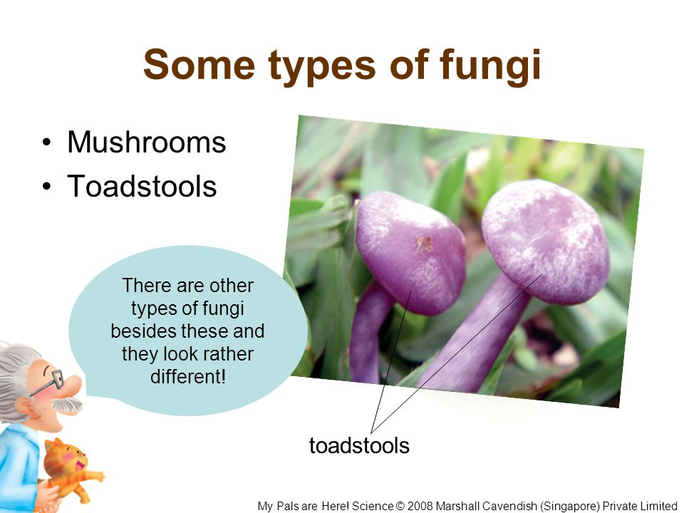 Some types of fungi Mushrooms Toadstools My Pals are Here! Science © 2008 Marshall Cavendish (Singapore) Private Limited mushroom toadstools There are