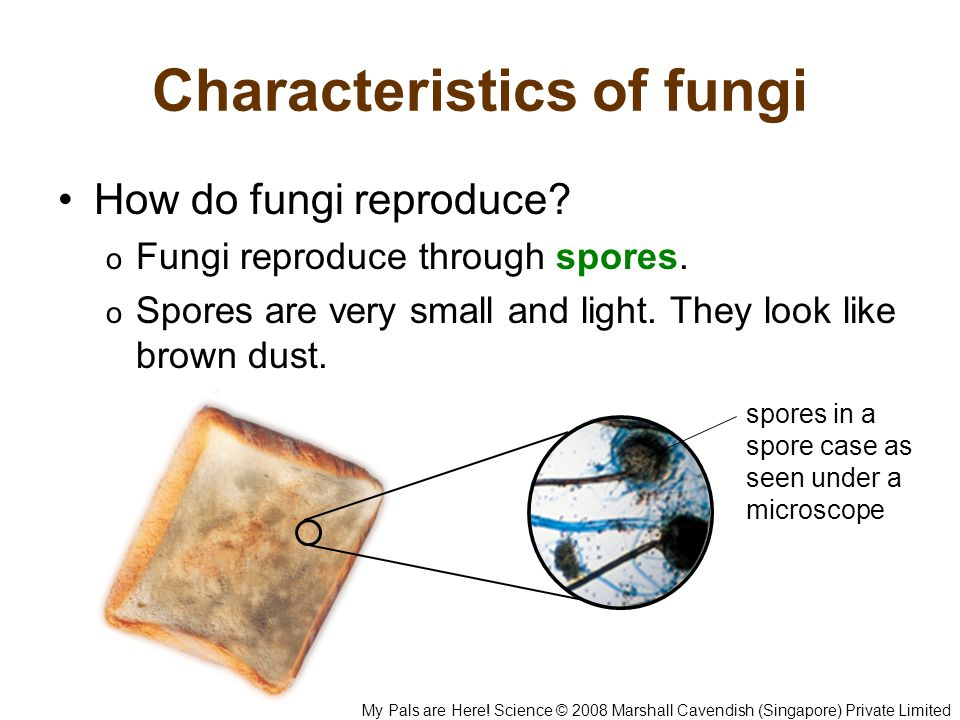 Characteristics of fungi How do fungi reproduce. o Fungi reproduce through spores.