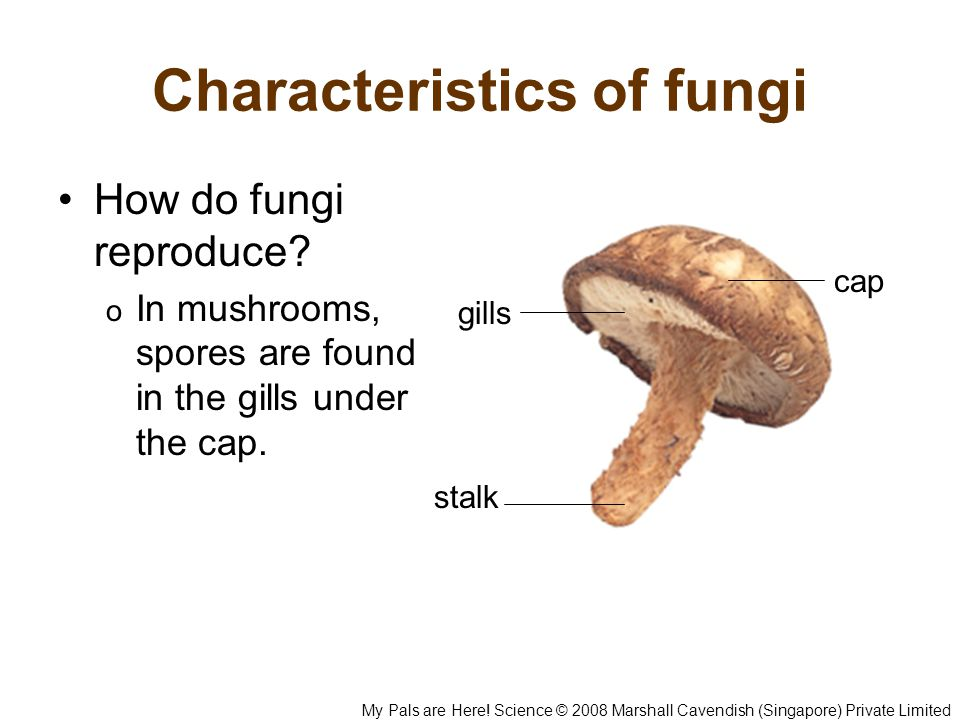 Characteristics of fungi How do fungi reproduce? o In mushrooms, spores are found in the gills under the cap. cap gills stalk My Pals are Here! Scienc