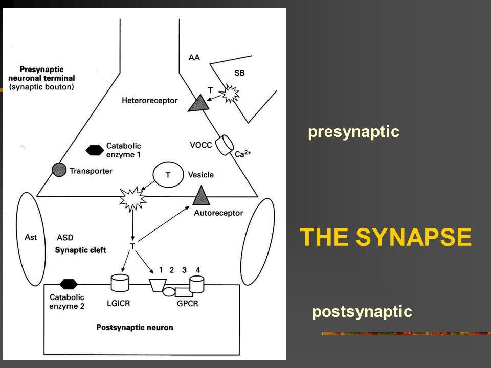 THE SYNAPSE presynaptic postsynaptic