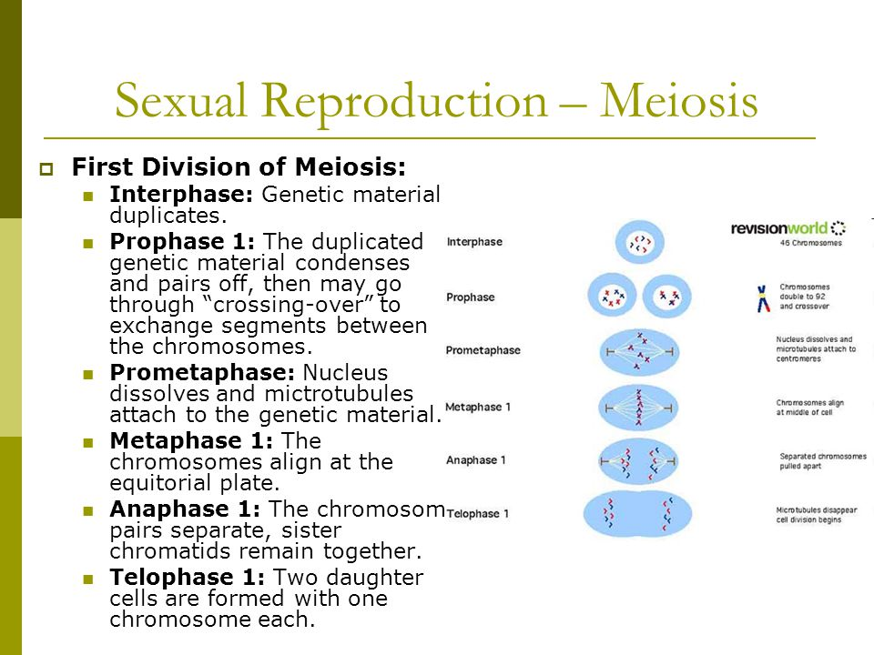 Sexual Reproduction – Meiosis  First Division of Meiosis: Interphase: Genetic material duplicates.