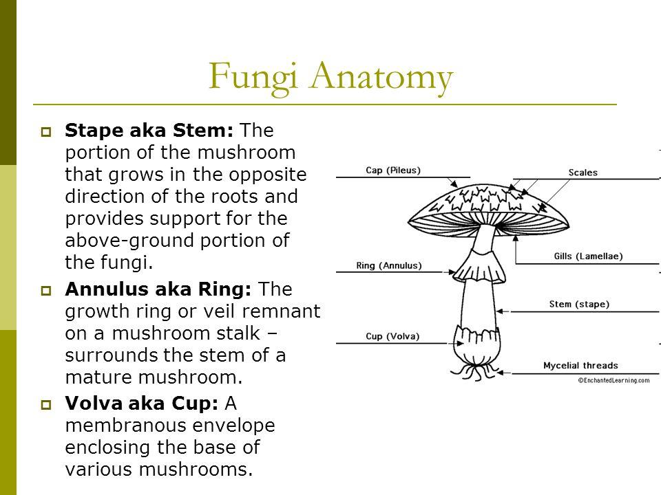 Fungi Anatomy  Mycelium: A loosely organized mass of hyphae.