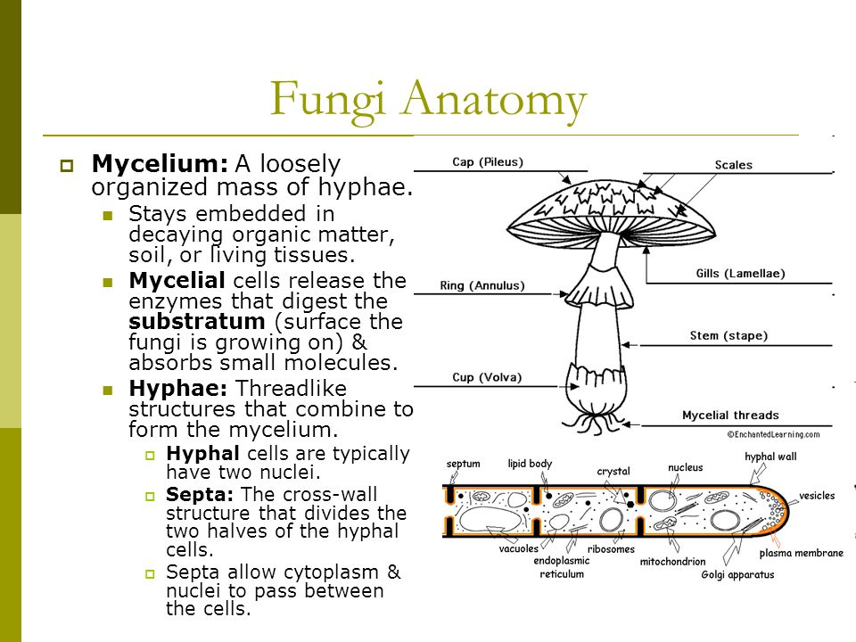 Fungi Anatomy  Mycelium: A loosely organized mass of hyphae.