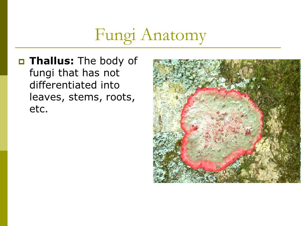 Fungi Anatomy  Thallus: The body of fungi that has not differentiated into leaves, stems, roots, etc.