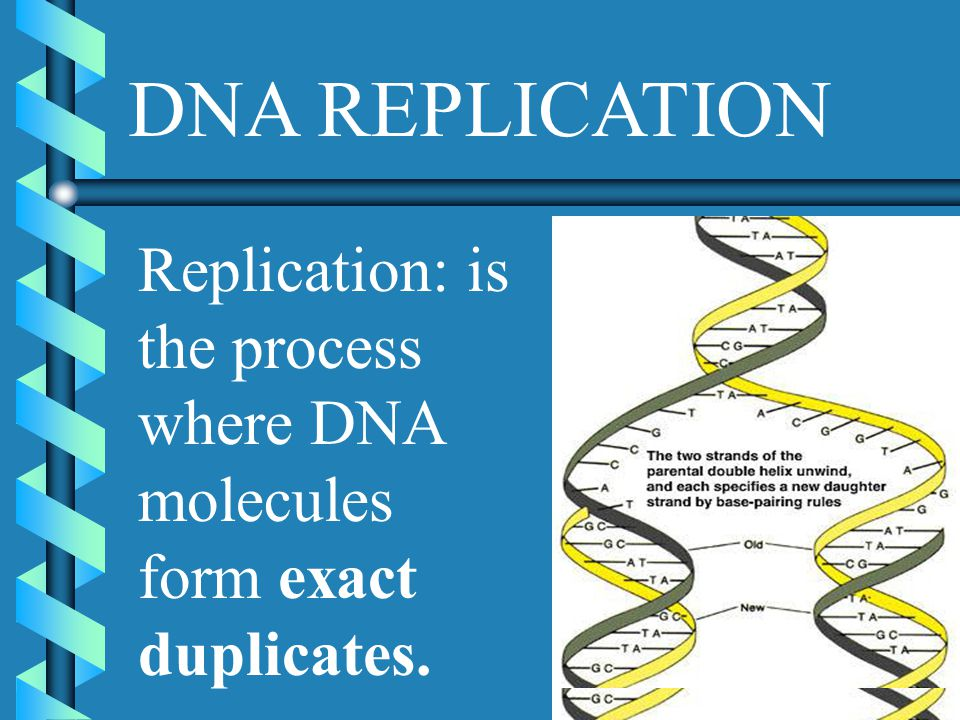 DNA REPLICATION Replication: is the process where DNA molecules form exact duplicates.