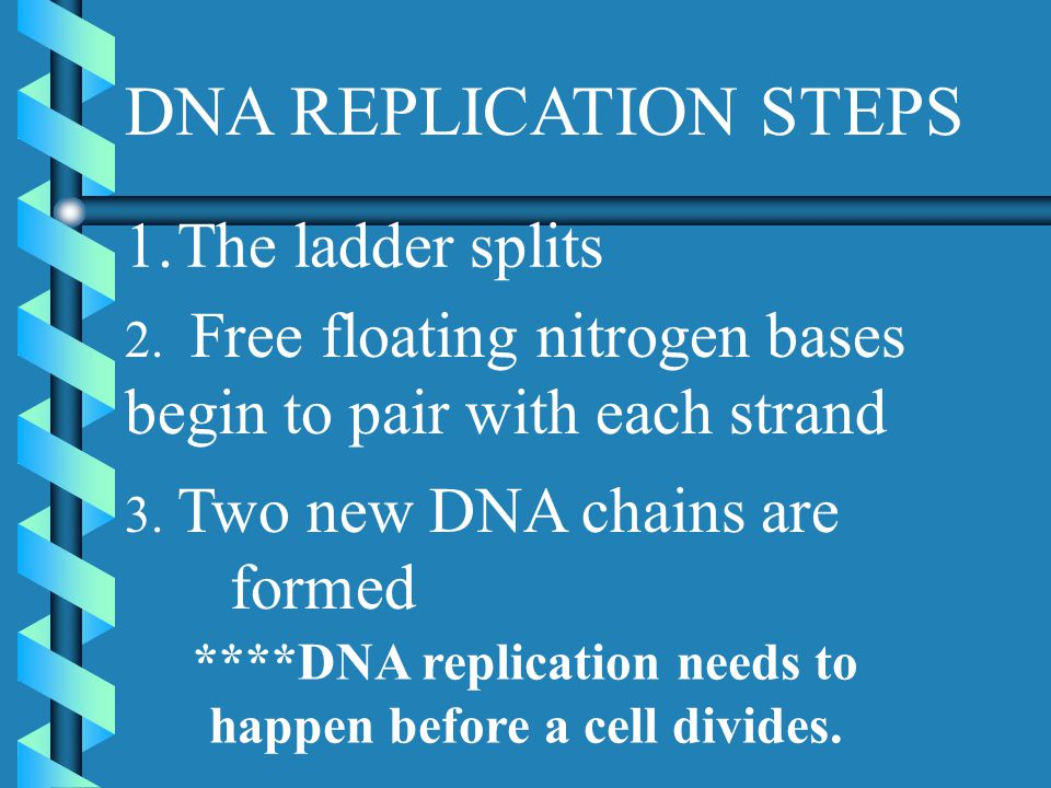 DNA REPLICATION STEPS 1.The ladder splits 2.