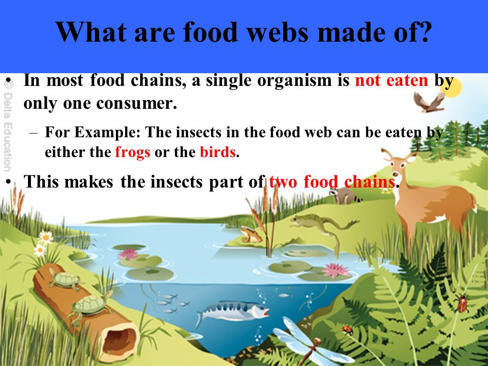 What are food webs made of? In most food chains, a single organism is not eaten by only one consumer. –For Example: The insects in the food web can be