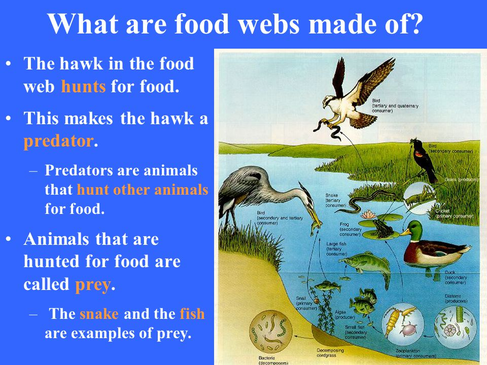 What are food webs made of? The hawk in the food web hunts for food. This makes the hawk a predator. –Predators are animals that hunt other animals fo